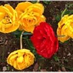 махровые тюльпаны к Дню Победы 9 Мая 2014