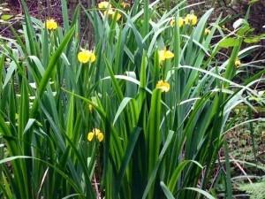 Болотные ирисы - Irises