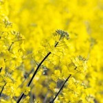 Рапс - Oilseed rape