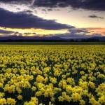 Шотландское поле даффодилов, по-русски, нарциссов