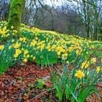 дикие нарциссы (daffodils) в пролеске