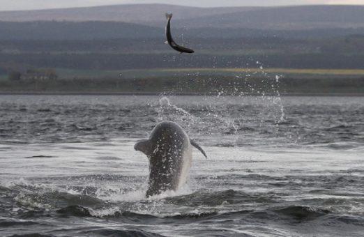Атлантический лосось уже под колпаком афалины