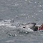 дельфин афалина с открытой пастью атакует более мелкую по размеру морскую свинью