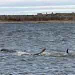 дельфины афалины между Чанонри Поинт и Форт Джорджем