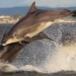 дельфины афалины во время охоты - такие милые на вид