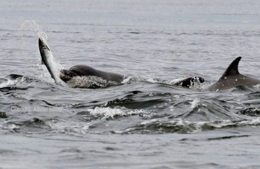 охота дельфинов афалин в стае