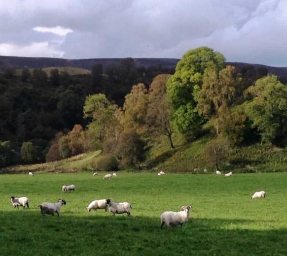 Черномордые рогатые овцы около замка Драмин — Blackface sheep close to Drumin Castle