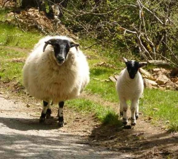 черномордые овцы возле замка драмин вблизи — blackface sheep — drumin castle