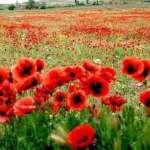 маковые поля во Фландрии