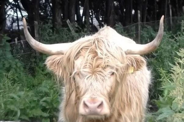 Высокогорная корова-блондинка рядом с замком Балвини