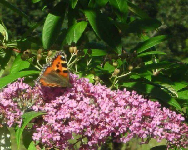 Настоящие бабочки тоже частые гости садов Форреса в августе