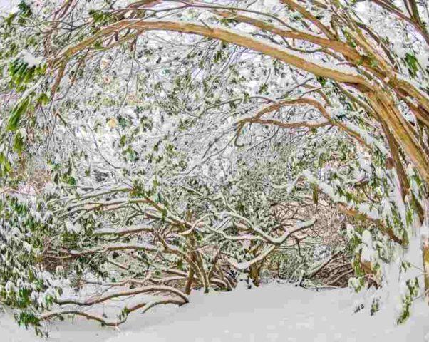 Рододендроны в снегу — случалось и такое