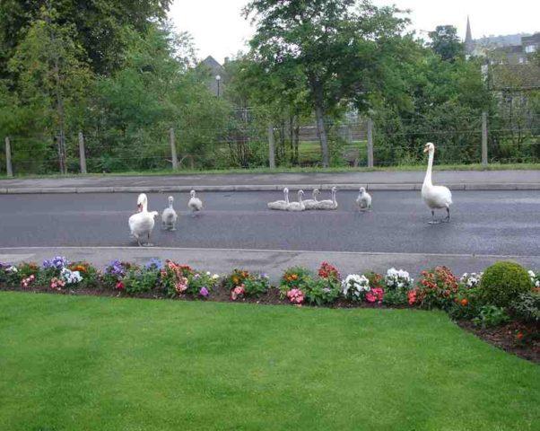 Семейство лебедей на дорогах Форреса — явление не редкое