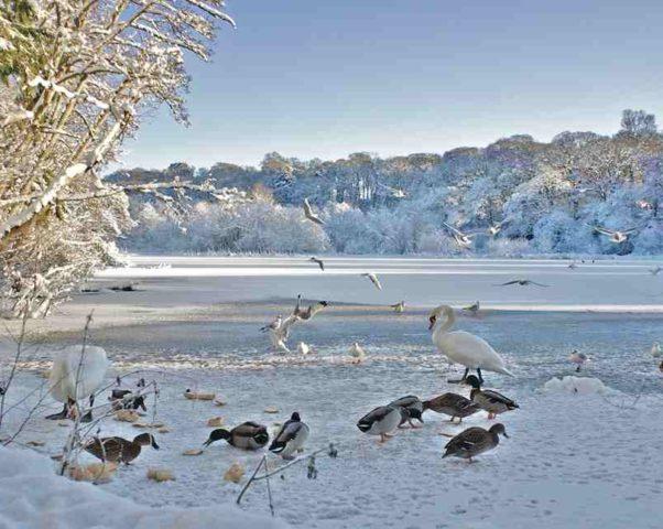 Зимняя жизнь пруда Санкью — Sanquhar pond