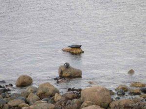 Тюлени залива Грюинард