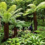 Шотландские сады - папоротники в Attadale Gardens -оригинал